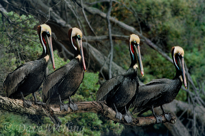 570007662 four wild adult brown pelicans pelecanus occidentalis in winter plumage perch on a large dead branch in santa barbara county california