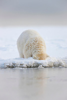 Young polar bear cub sticks its head in the snow along the shore of the Beaufort Sea, barrier Island, Arctic, Alaska.