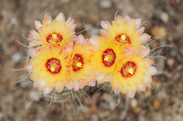 Twisted-rib Cactus (Hamatocactus bicolor), blooming,  Laredo, Webb County, South Texas, USA