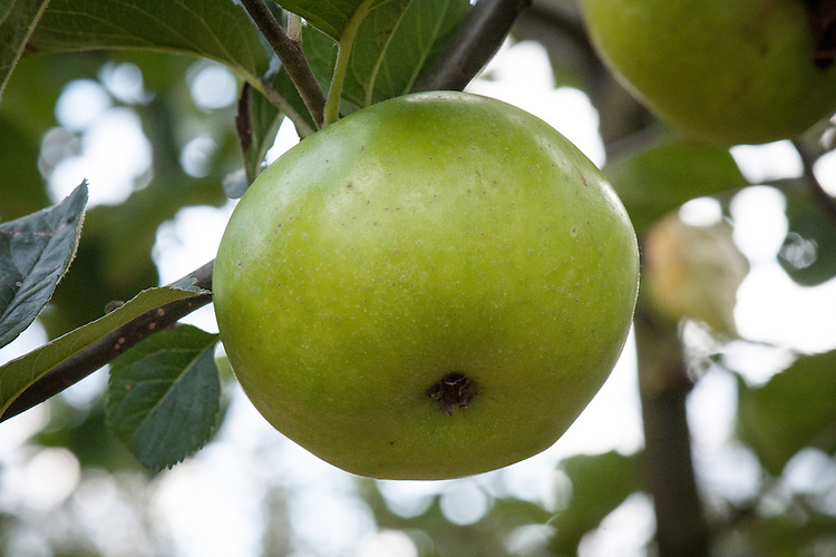 Apple 'Byford Wonder', late September. An English culinary apple first recorded in 1893 and introduced commercially a year later by Cranstons Nursery, Hereford.