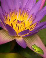 An Australian frog rests on a purple lily pad flower after one of the many Australian rain storms.