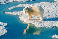 polar bear, Ursus maritimus, on ice, Spitsbergen, Norway (Arctic), polar bear, Ursus maritimus
