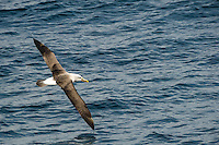Buller's Albatross (Buller's Mollymawk) over the waves off the coast of Fiordland, South Island, New Zealand - stock photo, canvas, fine art print
