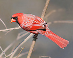 Red Bird, A Northern Cardinal Male Watching Me Very Carefully, Cardinalis cardinalis