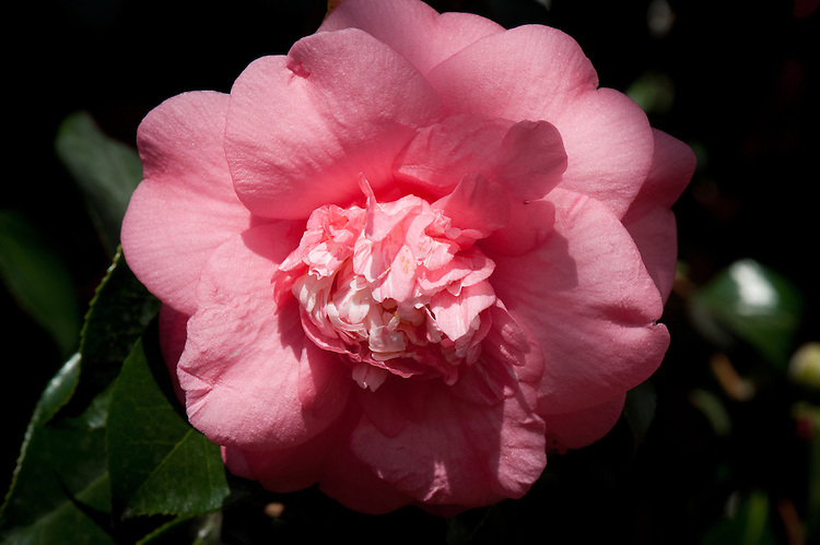 Camellia japonica 'Elegans'. Originated in 1823 by the Vauxhall nursery of Chandler & Son as a seedling of 'Anemoniflora' (brought from China in 1806). Two other camellia varieties originated later were given the same name. As a result, this variety has often been called 'Elegans' (Chandleri), creating confusion with the variety 'Chandleri'. 'Elegans' has been given many synonyms, among them 'Mr Chandler's Elegant Camellia'. (From catalogue, Camellias in the Conservatory Festival 2011, Chiswick House and Gardens).