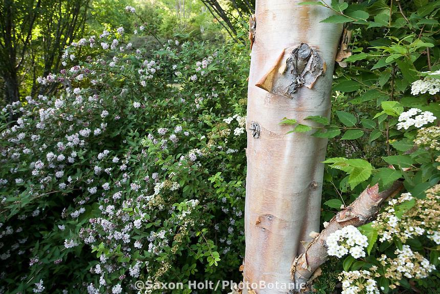 White flower Deutzia longifolia shrub next to Betula albosinensis (Chinese Red Birch) tree with white trunk Quarryhill Botanical Garden