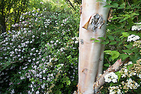 White flower Deutzia longifolia shrub next to Betula albosinensis (Chinese Red Birch) tree with white trunk Quarryhill Botanical Garden