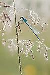 Common Blue Damselfly, Enallagma cyathigerum in Hay Meadow - Clattinger farm, Wiltshire