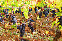pinot noir guyot training vineyard beaune cote de beaune burgundy france