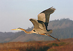 FB-S98  Great Blue Heron in flight