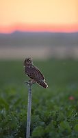 A juvenile Short-eared Owl perches upon sprinkler among crops.