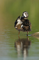 Blue-winged Teal (Anas discors), male preening, Fennessey Ranch, Refugio, Corpus Christi, Coastal Bend, Texas Coast, USA