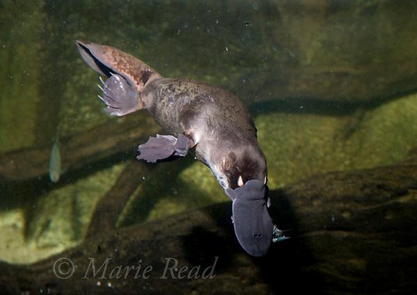 Platypus (Ornithorhynchus anatinus) swimming underwater with prey (crayfish), captive, Sydney Aquarium, Sydney New South Wales, Australia