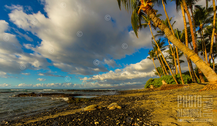 Two turtles rest on a salt-and-pepper sand beach on a sunny Christmas day, Mauna Lani, Big Island of Hawai'i.