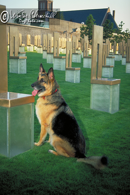 German Shepherd Search and Rescue Dog at the Murrah Bldg Memorial<br /> <br /> <br /> Shopping cart has 3 Tabs:<br /> <br /> 1) Rights-Managed downloads for Commercial Use<br /> <br /> 2) Print sizes from wallet to 20x30<br /> <br /> 3) Merchandise items like T-shirts and refrigerator magnets
