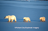 01874-01205 Polar Bears (Ursus maritimus) female with 2 cubs walking on frozen pond  Churchill  MB