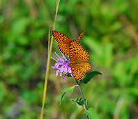 Two orange and black butterflies search for nectar on a purple wildflower.
