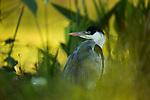 Cocoi Heron (Ardea cocoi), Ibera Provincial Reserve, Ibera Wetlands, Argentina