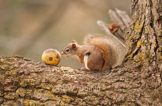 red squirrel sniffing walnut