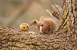 red squirrel sniffing walnut