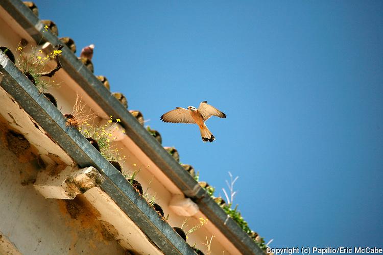 Lesser Kestrel, Falco naumanni male flying over nesting area in Extremadura, Spain<br /> nature<br /> wildlife<br /> Spain<br /> Extremadura<br /> falcon<br /> kestrel<br /> raptor<br /> flight<br /> flying<br /> bird<br /> Falco naumanni<br /> Falco<br /> male