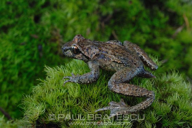 Coastal Tailed Frog (Ascaphus truei)