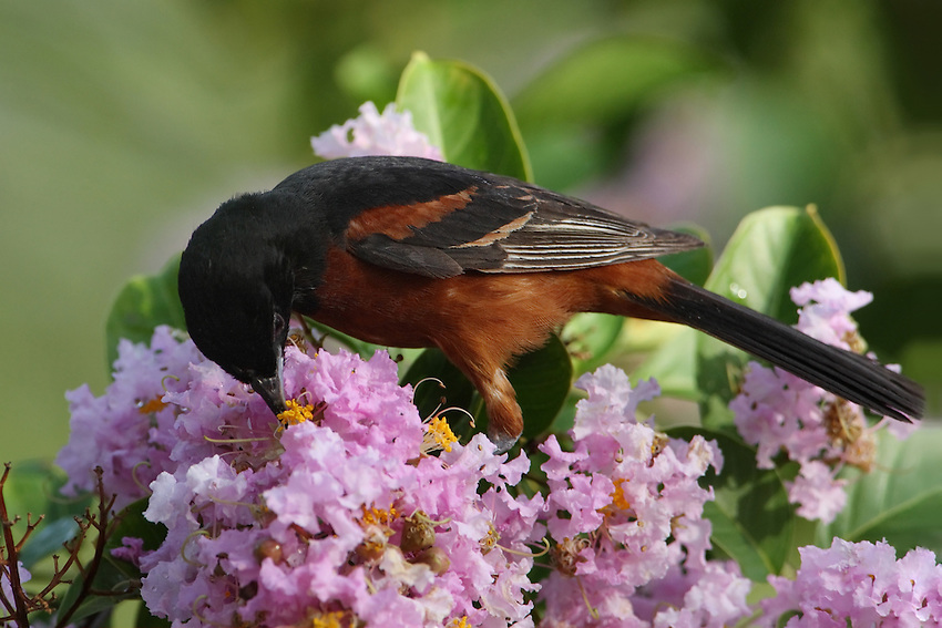 The Orchard Oriole (Icterus spurius) is the smallest North American species of icterid blackbird.