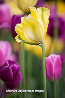 63821-22807 Yellow, pink and purple tulips, Chicago Botanic Garden, Glencoe, IL