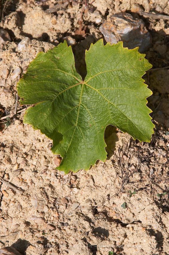 Vine leaf. Grollot, grolleau variety. Chateau de Passavant, Anjou, Loire, France