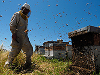 A swarm storms out of a hive at an apiary. The powerless beekeeper can do nothing but watch the departure of half the bees from his hive.<br /> Un essaim sort en trombe d&rsquo;une ruche sur un rucher. L&rsquo;apiculteur impuissant ne peut qu&rsquo;assister au d&eacute;part de la moiti&eacute; des abeilles de sa ruche.