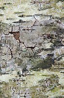Bark Detail, Upper Negro Island, Castine, Maine, US