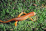 Red-spotted newt Notophthalmus viridescens