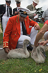 Swan Upping. The River Thames near Windsor Berkshire England. The Queens Swan Master David Barber foreground checks the identification rings on the feet of the signets.