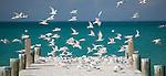 Cayenne (aka Sandwich) Terns on Eleuthera, Bahamas