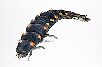 Glimworm - Vuurvlieg (Lampyris noctiluca )