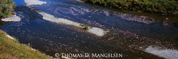 Dead salmon in a river on the Alaska Peninsula.