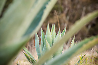 Agave americana, Santa Cruz Island, Channel Islands National Park, California