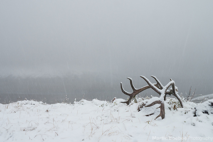 A set of Caribou antlers in snow at Eielson Visitor Center, Denali National Park, Alaska