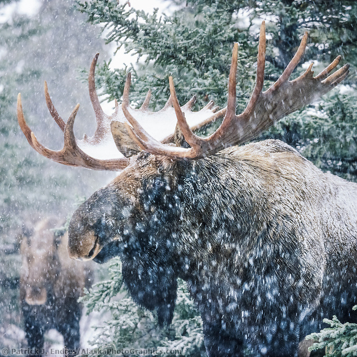 Bull moose and cow in boreal forest during a winter snowstorm. Denali National Park, Alaska.