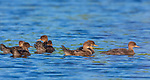Young hooded mergansers swimming in a northern Wisconsin lake.