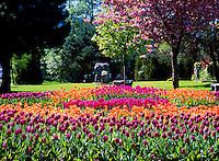 Squamish, BC, British Columbia, Canada - Tulips / Spring Flowers in Pavilion Park Garden