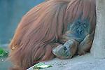 A Sleepy Orangutan