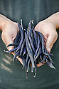 Freshly picked purple climbing French bean 'Empress'.