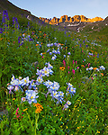 San Juan Mountains, CO<br /> American Basin featuring Colorado columbine (Aquilegia coerulea), sneezeweed (Dugaldia hoopesii) and larkspur (Delphinium barbeyi)  in alpine wildflower meadows beneath Handies Peak at sunrise