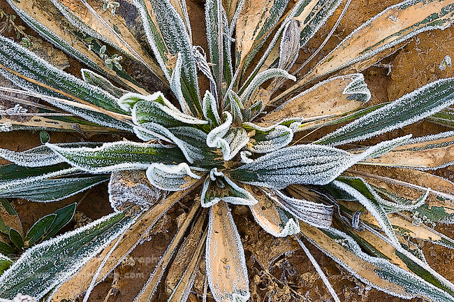 Digital Art of a frosty unknown plant, created from a original photograph