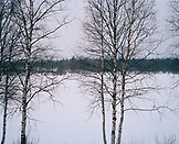 FINLAND, Inari, bare tree by frozen Inarjarvi lake