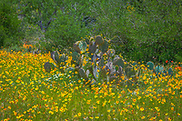 Prickly Pear and Wildflowers - Prickly Pear cactus  with wildflowers growing around it and through it.  This is a traditional rual scene in the Texas hill country this time of year.  The wildflowers have just come up and these yellow coreopsis have the edge here but also growing in the bunch are some white daisy and indian blankets.  Within a few day we might have more colors in this scene. We like the yellow with the green cactus and the cedar trees in the background showed a lot of the spring time colors at this texas ranch in the hill country.