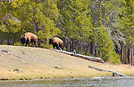 Bison, Madison Riverbank, Yellowstone National Park, Wyoming