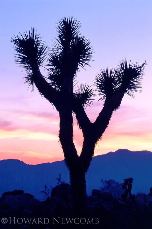 A Joshua Tree silouette at sunset in Joshua Tree National Park