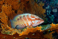 jewel coral grouper or cod Cephalopholis miniata using a sea fan as shelter, Richelieu Rock, Andaman Sea, Thailand, Indian Ocean, Asia